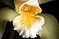 Cattleya forbesii 'Prazer' Lindl., Coll. Bot.- t. 37 (1826) (37333149614).jpg