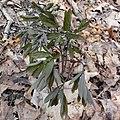 Caulophyllum giganteum SCA-01269.jpg