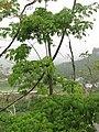 Ceiba tree in Ciales, Puerto Rico at Juan Antonio Corretjer lookout.jpg