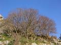 Celtis-asperrima-tree.png