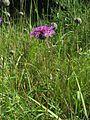 Centaurea scabiosa habitus.jpeg