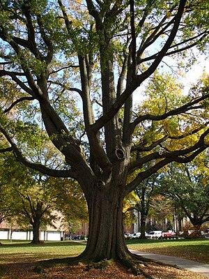Atlanta tree canopy - Trees on the campus of Georgia Tech