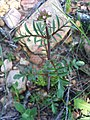 Centranthus calcitrapa Habitus 04April2009 DehesaBoyalPuertollano.jpg