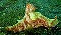 Ceratosoma tenue005.jpg