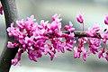 Cercis canadensis Covey 7zz.jpg