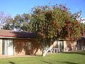 Cervantes Bottlebrush Tree.JPG