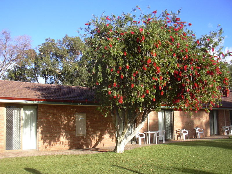 Cervantes Bottlebrush Tree.JPG