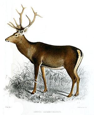 Kashmir stag - Image: Cervus cashmeerianus Smit