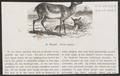 Cervus muntjac - 1872 - Print - Iconographia Zoologica - Special Collections University of Amsterdam - UBA01 IZ21500203.tif