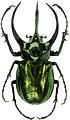 Chalcosoma atlas MuseumFurNaturkundeBerlin Scarabaeidae Dynastinae D185.jpg