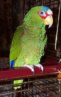 Charlie White-fronted Amazon Parrot Redvers.jpg