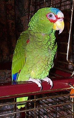 Charlie White-fronted Amazon Parrot Redvers