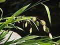 Chasmanthium latifolium Obiedka szerokolistna 2011-09-11 02.jpg