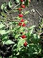 Chenopodium foliosum.JPG