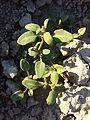 Chenopodium glaucum sl10.jpg