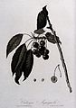 Cherry (Prunus species); fruiting branch with sectioned frui Wellcome V0043150.jpg