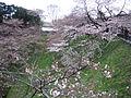 Cherry Blossom -Kitanomaru Park.jpg