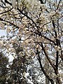 Cherry Blossoms near Library in Huangzhou District, Huanggang, Hubei 5.JPG