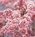 Cherry blossoms in Kenrokuen (Kanazawa, Japan) (2443644739).jpg