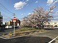 Cherry blossoms near Zasshonokuma Station 20190401-15.jpg