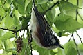 Chestnut-sided Warbler (male) Fall Out 2 Sabine Woods TX 2018-04-09 09-34-16 (40614531805).jpg