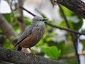 Chestnut-tailed starling 08.jpg