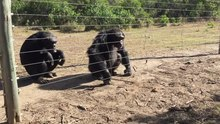 File:Chimpanzees demonstrating how they use tools.webm