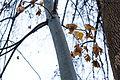 Chinese parasol tree (24691254590).jpg