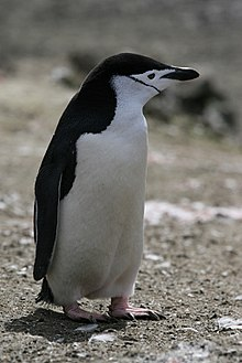Chinstrap Penguin.jpg