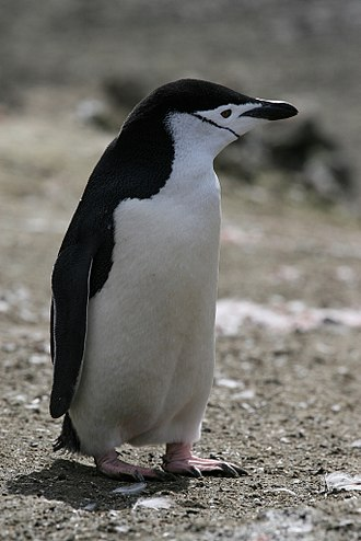 Pygoscelis - Image: Chinstrap Penguin