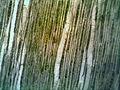 Chlorociboria aeruginascens - wood microphoto.jpg