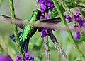 Chlorostilbon melanorhynchus (Esmeralda occidental) - Macho - Flickr - Alejandro Bayer (4).jpg