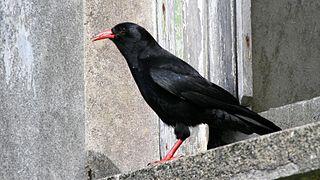 Chough Genus of birds