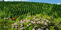 Christmas Tree Farm in Little Switzerland, NC.jpg