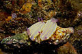 Chromodoris krohni (Vérany, 1846) - accouplement.jpg