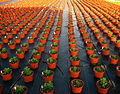 Chrysanthemums in a plant nursery 2.jpg