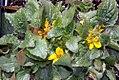 Chrysogonum virginianum Allen Bush 0zz.jpg