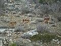 Ciervos en el alto Tajo.jpg