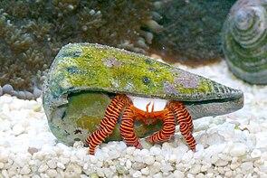 Trizopagurus strigatus