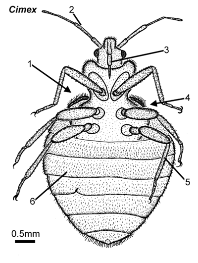 Cimex female ventral.png