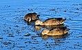 Cinnamon Teal Brood Seedskadee NWR 01 (15113472245).jpg