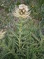 Cirsium spinosissimum003.JPG