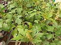Cissus rhombifolia-2-sunny broke-yercaud-salem-India.jpg