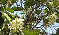 Citrus blossoms Kefar Saba February 2015 c.jpg