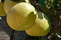 Citrus maxima - Alipore - Kolkata 2013-02-10 4592.JPG