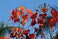 Clavellina (Caesalpinia pulcherrima) (14343866707).jpg