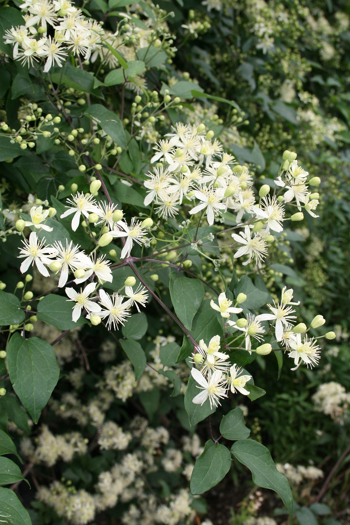 clematis gouriana wikipedia. Black Bedroom Furniture Sets. Home Design Ideas