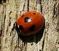 Coccinella septempunctata - Flickr - S. Rae (7).jpg