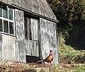 Cock pheasant at Nantperchellan - geograph.org.uk - 331058.jpg