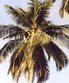 Cocos nucifera.jpg